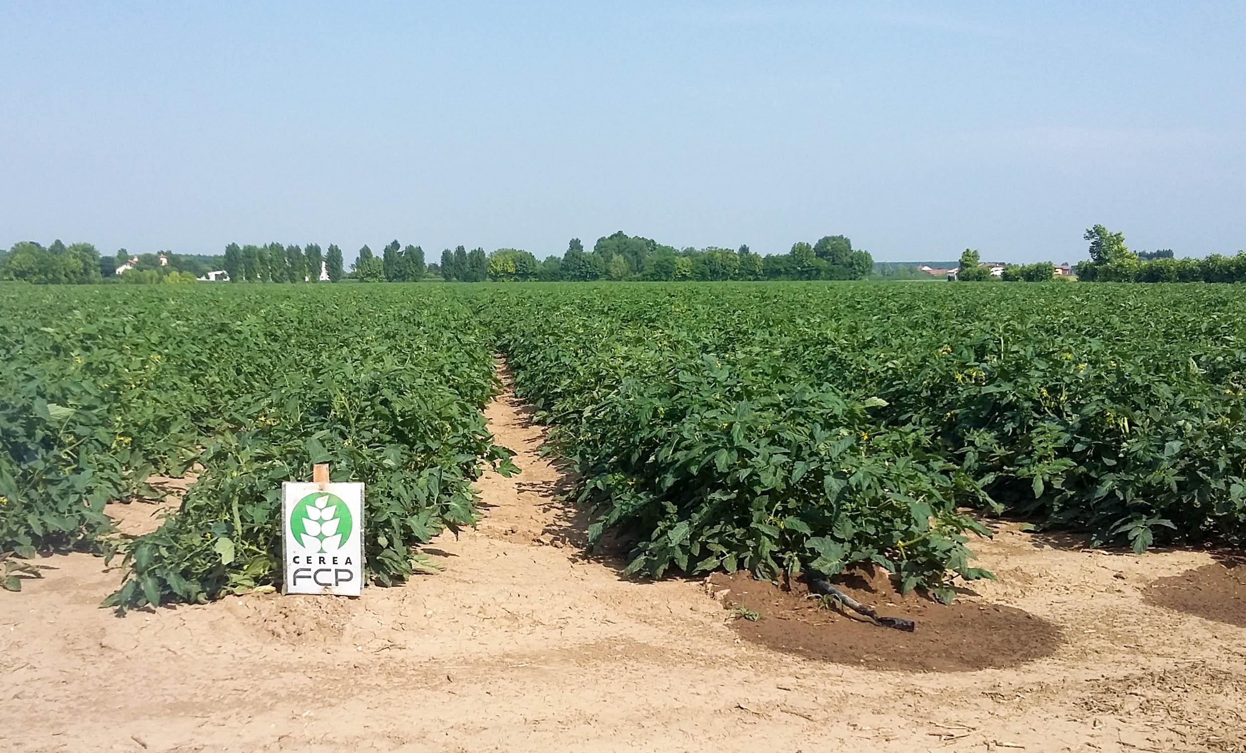 Делянки тестированных томатов промышленных сортов