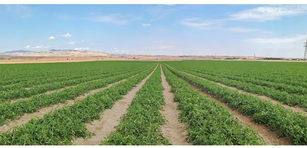 Выращивание томатов промышленных сортов: новые стратегии в питании растений