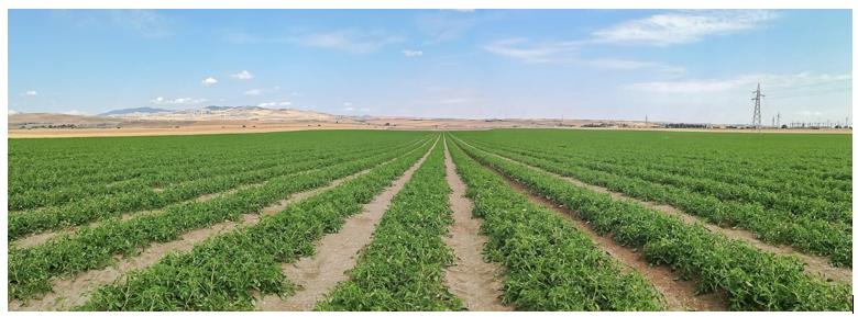 La coltivazione del pomodoro da industria: nuove strategie di nutrizione