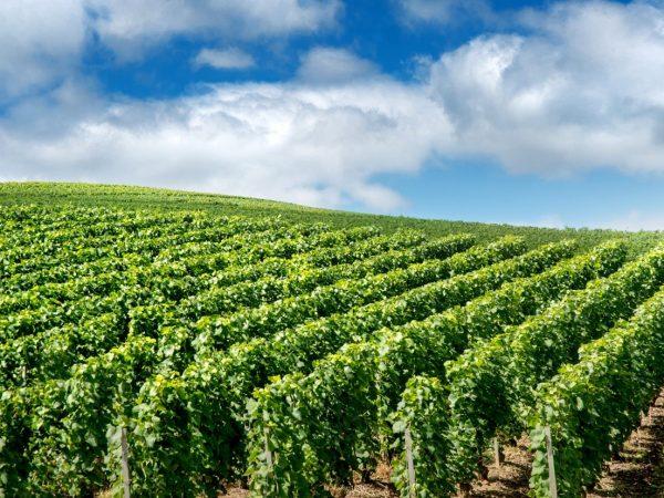 Стратегии правильного питания виноградников: осеннее внесение удобрений